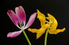 Schwarzer Hintergrund der rosa und gelben Tulpen Stockfotografie
