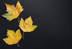 Schwarzer Hintergrund mit drei Ahornblättern Stockfotos