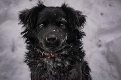 Schwarzer Hofhund, mit dem rauhaarigen Haar, Retriever Winter, Frostwetter und viel wei?er Schnee stockfotografie