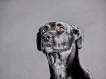 Schwarzer Hund (91) lizenzfreie stockfotografie