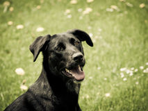 Schwarzer Hund (34) Stockfotografie