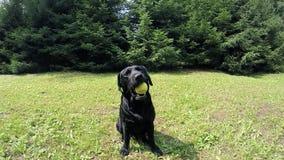 Schwarzer Hund stock footage