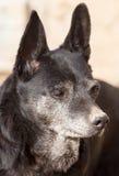 Schwarzer Hund auf der Natur Stockfotografie