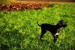 Schwarzer Hund auf grünem Gras Lizenzfreies Stockbild