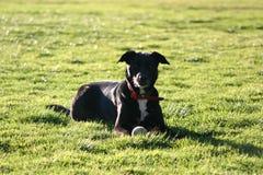 Schwarzer Hund auf Gras stockbild