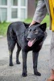 Schwarzer Hund auf Straße ging zu einer älteren Frau Die Frauenliebkosungen Lizenzfreie Stockfotos