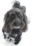 Schwarzer Hund auf weißem Schnee Stockfotos