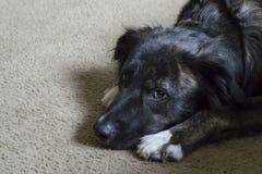 Schwarzer Hund, der auf dem Boden-Stillstehen liegt stockbild