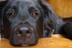 Schwarzer Hund, der auf dem Fußboden liegt lizenzfreie stockfotografie