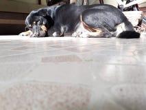 Schwarzer Hund, der auf einem hellbraunen Fliesenboden liegt lizenzfreie stockfotos