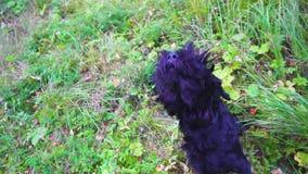 Schwarzer Hund, der auf einer Wiese bellt stock video