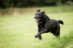Schwarzer Hund, der in das Rasenflächespringen läuft lizenzfreie stockfotos