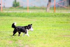 Schwarzer Hund, der in den Park auf dem grünen Gras geht Stockbild