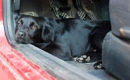 Schwarzer Hund, der in einem roten Auto stillsteht Stockfoto