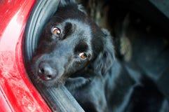 Schwarzer Hund, der in einem roten Auto stillsteht Lizenzfreies Stockbild