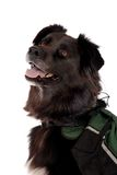 Schwarzer Hund, der einen Satz trägt Stockfoto