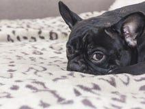 Schwarzer Hund der französischen Bulldogge, der auf dem Sofablick sitzt Lizenzfreies Stockfoto