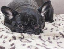 Schwarzer Hund der französischen Bulldogge, der auf dem Sofablick sitzt Stockbild