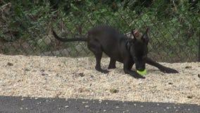 Schwarzer Hund, der mit Ball spielt stock video footage