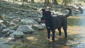 Schwarzer Hund, der mit Fluss spielt stock footage