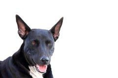 Schwarzer Hund der Nahaufnahme lokalisiert auf Weiß Stockbild