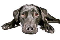 Schwarzer Hund, der trauriges IV schaut stockfotos