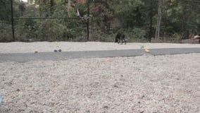 Schwarzer Hund, der um beiliegenden Bereich geht stock video