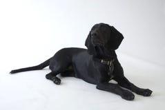 Schwarzer Hund im Studio Stockbild