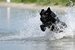 Schwarzer Hund im Wasser stockfotografie
