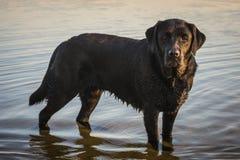 Schwarzer Hund Labrador retriever im Wasser Stockbilder