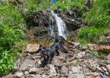 Schwarzer Hund Labrador retrievers, der auf das Gras in den Bergen legt Lizenzfreies Stockbild