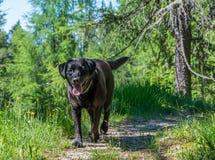 Schwarzer Hund Labrador retrievers, der auf das Gras in den Bergen legt Lizenzfreies Stockfoto