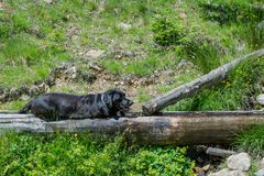 Schwarzer Hund Labrador retrievers, der auf das Gras in den Bergen legt Stockbild