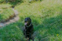 Schwarzer Hund Labrador retrievers, der auf das Gras in den Bergen legt Stockfoto