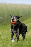 Schwarzer Hund mit Hundspielzeug Stockbild