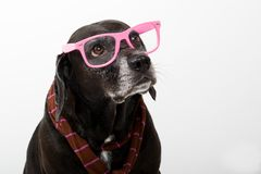 Schwarzer Hund mit rosafarbenen Gläsern Stockbild