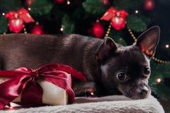Schwarzer Hund mit Weihnachtsknochengeschenk Lizenzfreies Stockbild