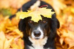 Schwarzer Hund und Ahornblatt, Herbst Stockfotografie