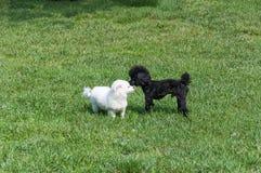 Schwarzer Hund und weißes Hundespielen Lizenzfreies Stockfoto