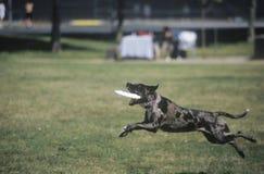 Schwarzer Hundanziehender Frisbee im Hunde- Frisbee-Wettbewerb, Westwood, Los Angeles, CA lizenzfreie stockfotografie