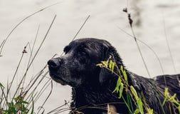 Schwarzer Hundeabschluß oben am See lizenzfreie stockbilder