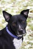 Schwarzer Hundeporträt Stockfotografie