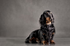Schwarzer Hunderassedachshund auf dem Hintergrund Stockfotografie