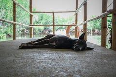Schwarzer Hundeschlafen stockfoto