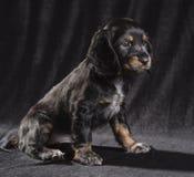schwarzer Hundewelpe russisches Spaniel auf schwarzem Hintergrund lizenzfreie stockbilder