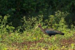 Schwarzer IBIS-Vogel Stockfoto