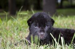 Schwarzer Jaguar des Schätzchens (Panthera onca) Stockfoto