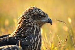 Schwarzer junger Adler lizenzfreie stockbilder