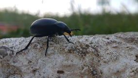 Schwarzer Käfer Stockfoto