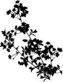 Schwarzer Kirschbaumzweig mit Blumen Stockbilder